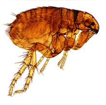 Pest control, Flea image