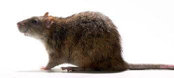 Pest control, Rat image
