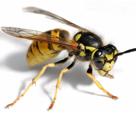 Pest control, Wasp image